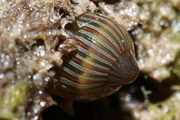 Image of Orange-Striped Sea Anemone