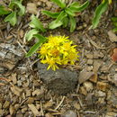 Image of Rocky Mountain goldenrod