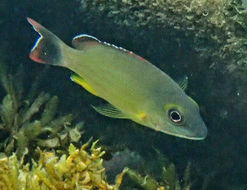 Image of Pink-margin wrasse