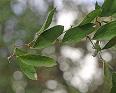 Image of laurel greenbrier