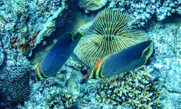 Image of Eastern Triangle Butterflyfish