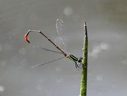 Image of Pygmy Wisp