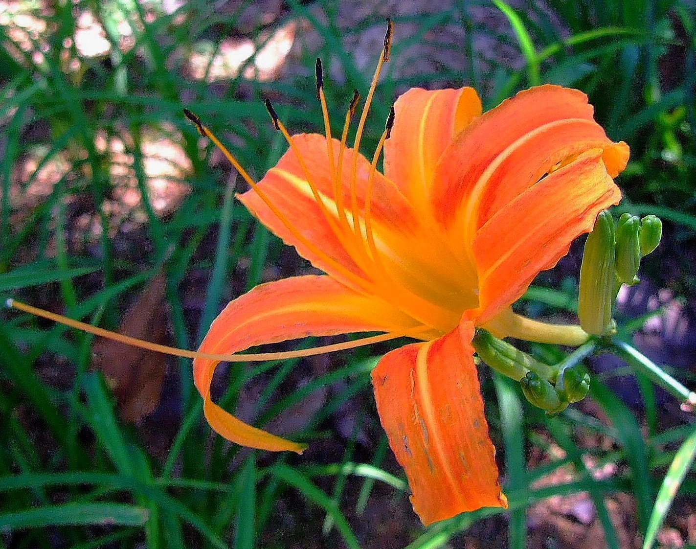 Image of orange daylily