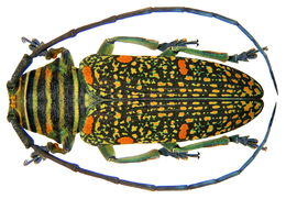 Image of <i>Zographus <i>regalis</i></i> ssp. regalis