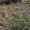 Image of bluebonnet lupine