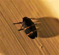 Image of Two-lined Spittlebug