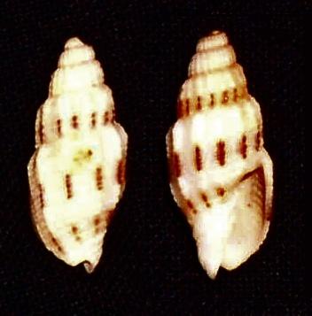 Image of <i>Vexillum exasperatum</i> (Gmelin 1791)