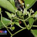 Image of <i>Cassine viburnifolia</i> (Juss.) Ding Hou