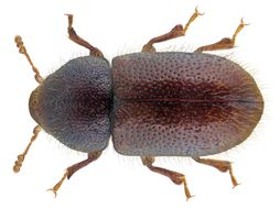 Image of <i>Ropalodontus perforatus</i>