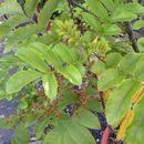 Image of <i>Caldcluvia rosifolia</i> (A. Cunn.) Hoogland