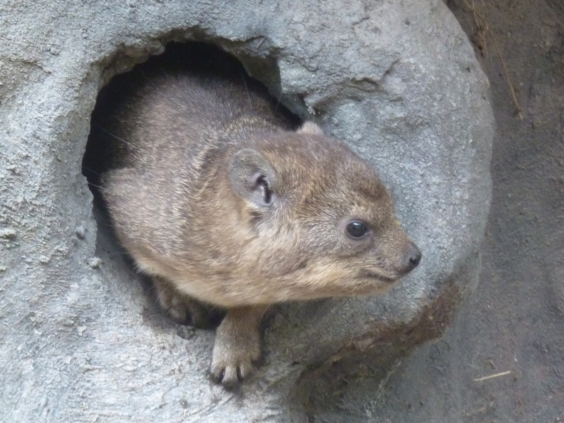 Image of Rock Hyrax