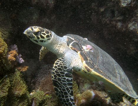 Image of Hawksbill Sea Turtle