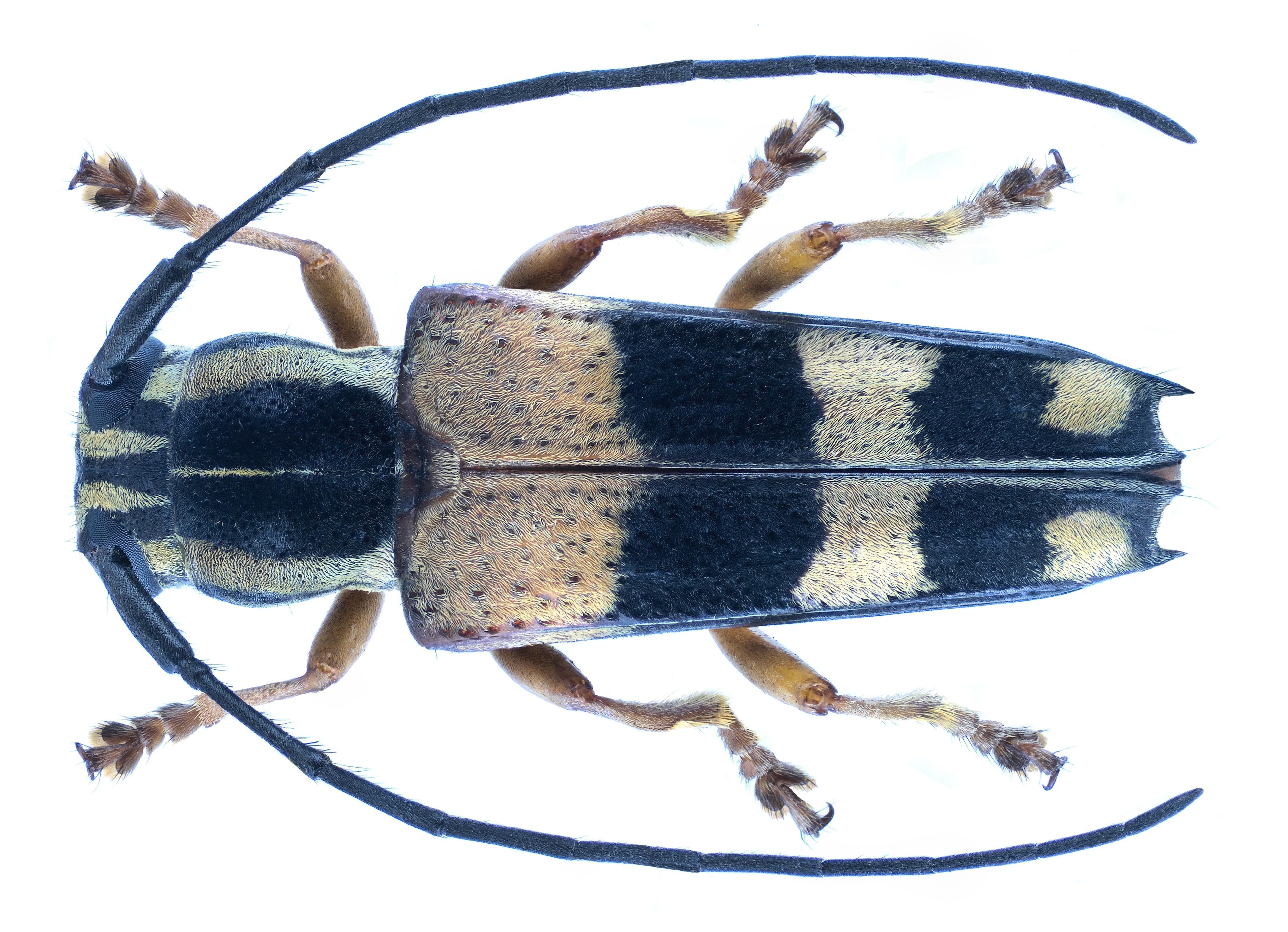 Image of <i>Glenea adelpha</i> (Thomson 1858)