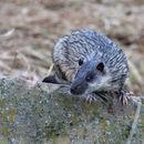 Image of Water Rat