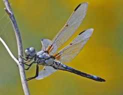 Image of Bleached Skimmer
