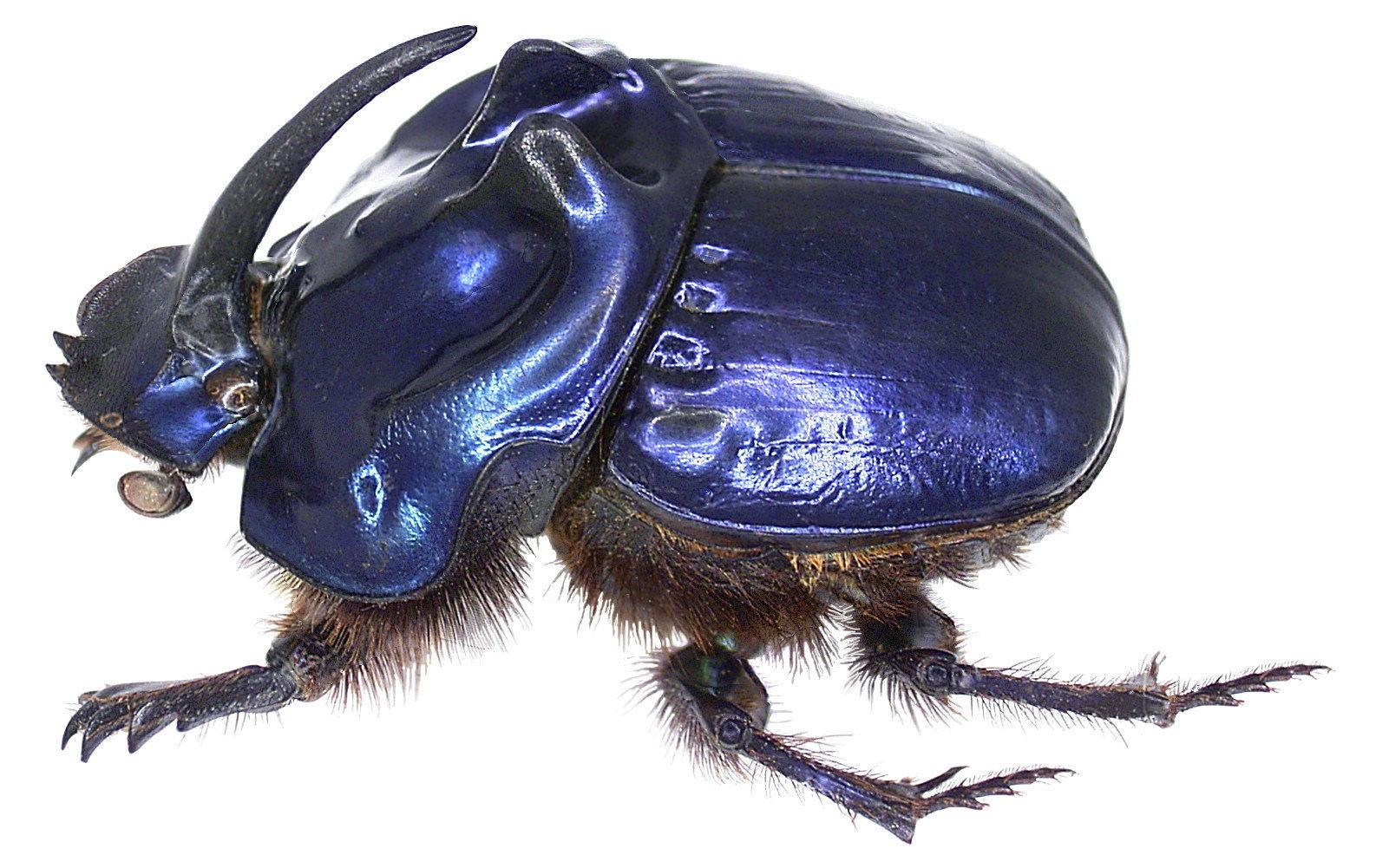 Image of <i>Coprophanaeus <i>saphirinus</i></i> ssp. saphirinus