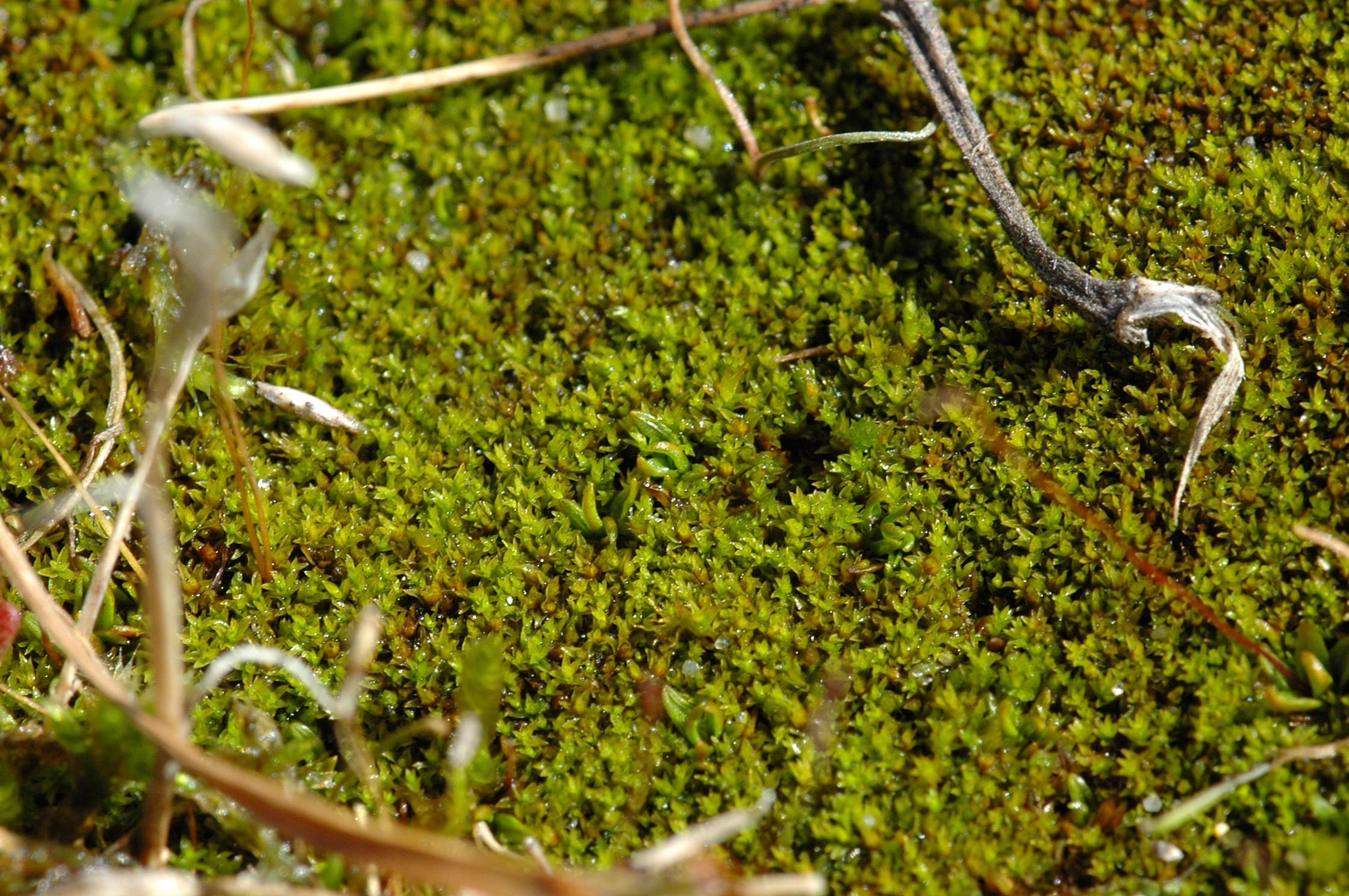 Image of aloina moss