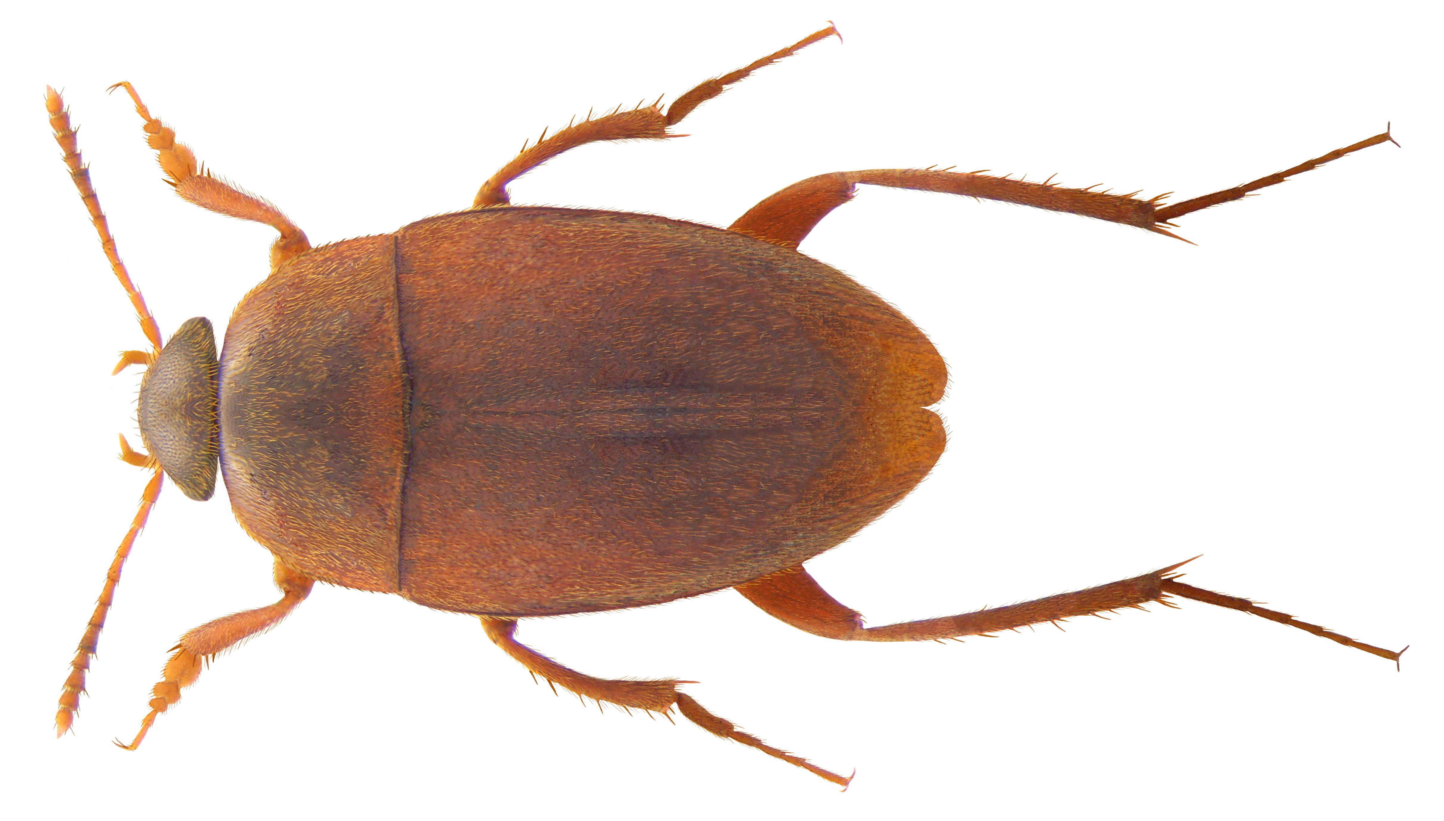Image of <i>Catopidius depressus</i> (Murray 1856)