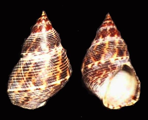 Image of <i>Littorina scabra</i>