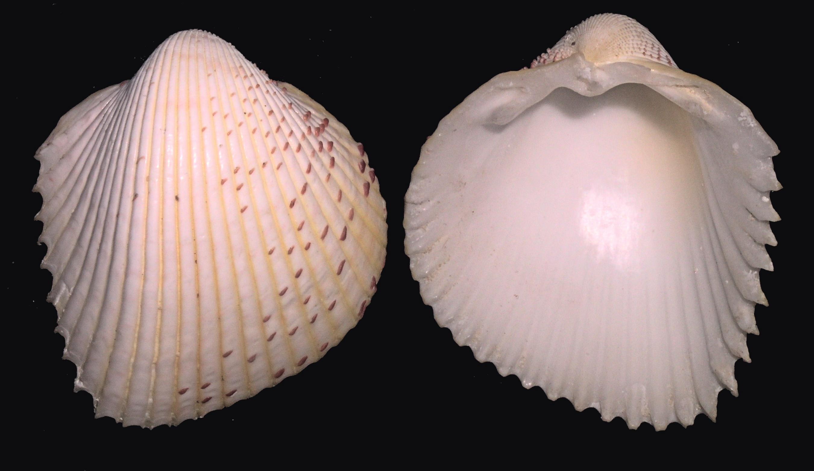Image of <i>Fragum unedo</i> (Linnaeus 1758)