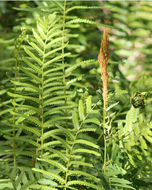 Image of <i>Osmunda cinnamomea</i>