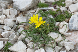Image of <i>Scorzonera austriaca</i> Willd.