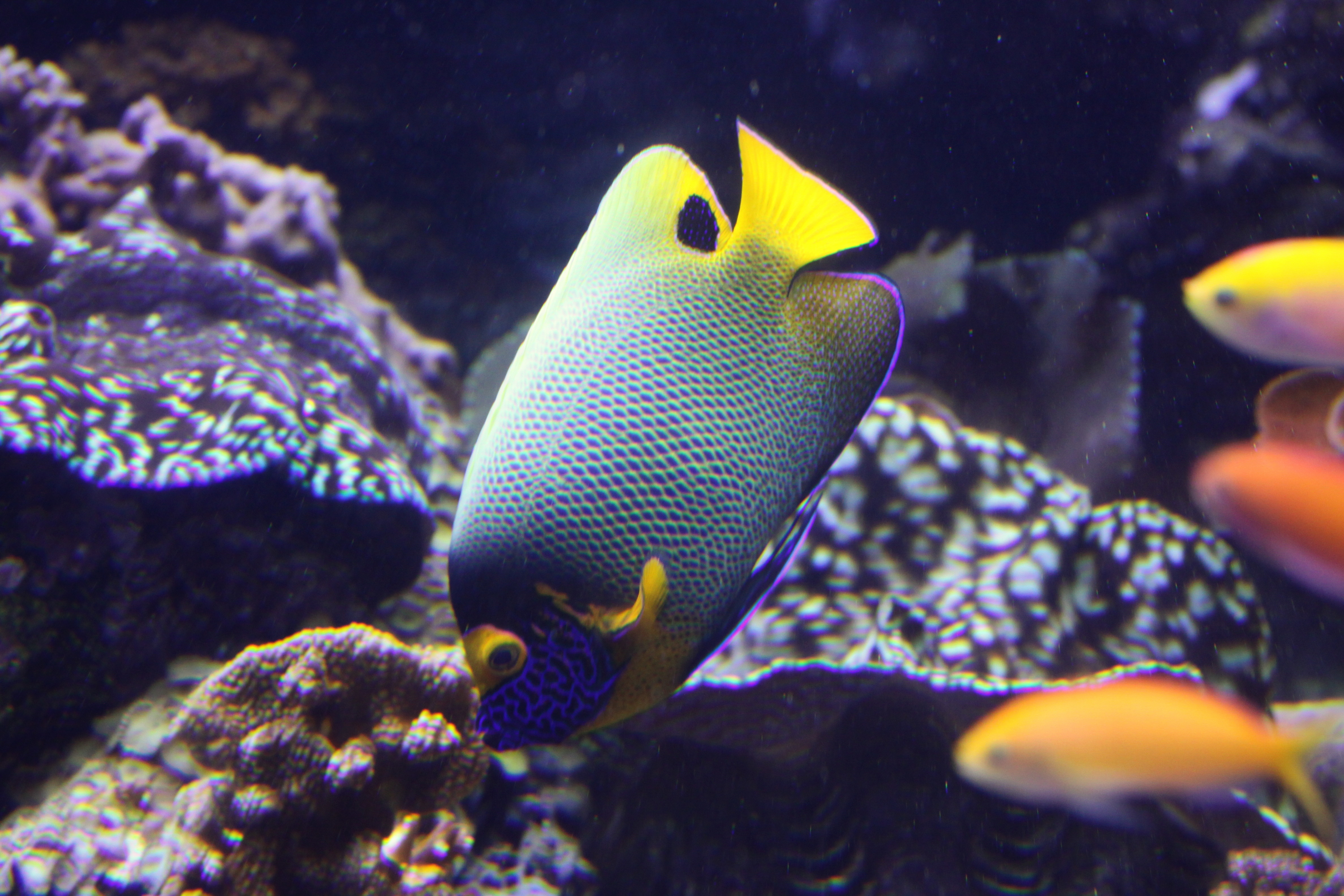 Image of Blue-face Angelfish