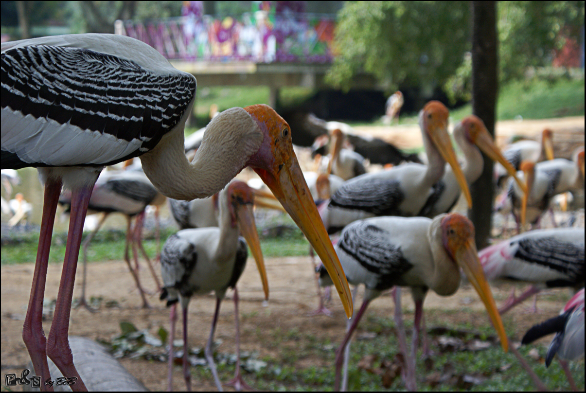 Image of Painted Stork