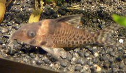 Image of Schwartz's catfish