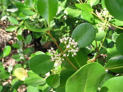 Image of <i>Scyphiphora hydrophyllacea</i>