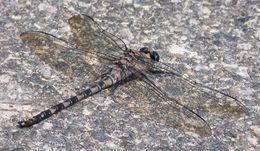 Image of <i>Tachopteryx thoreyi</i> (Hagen ex Selys 1858)