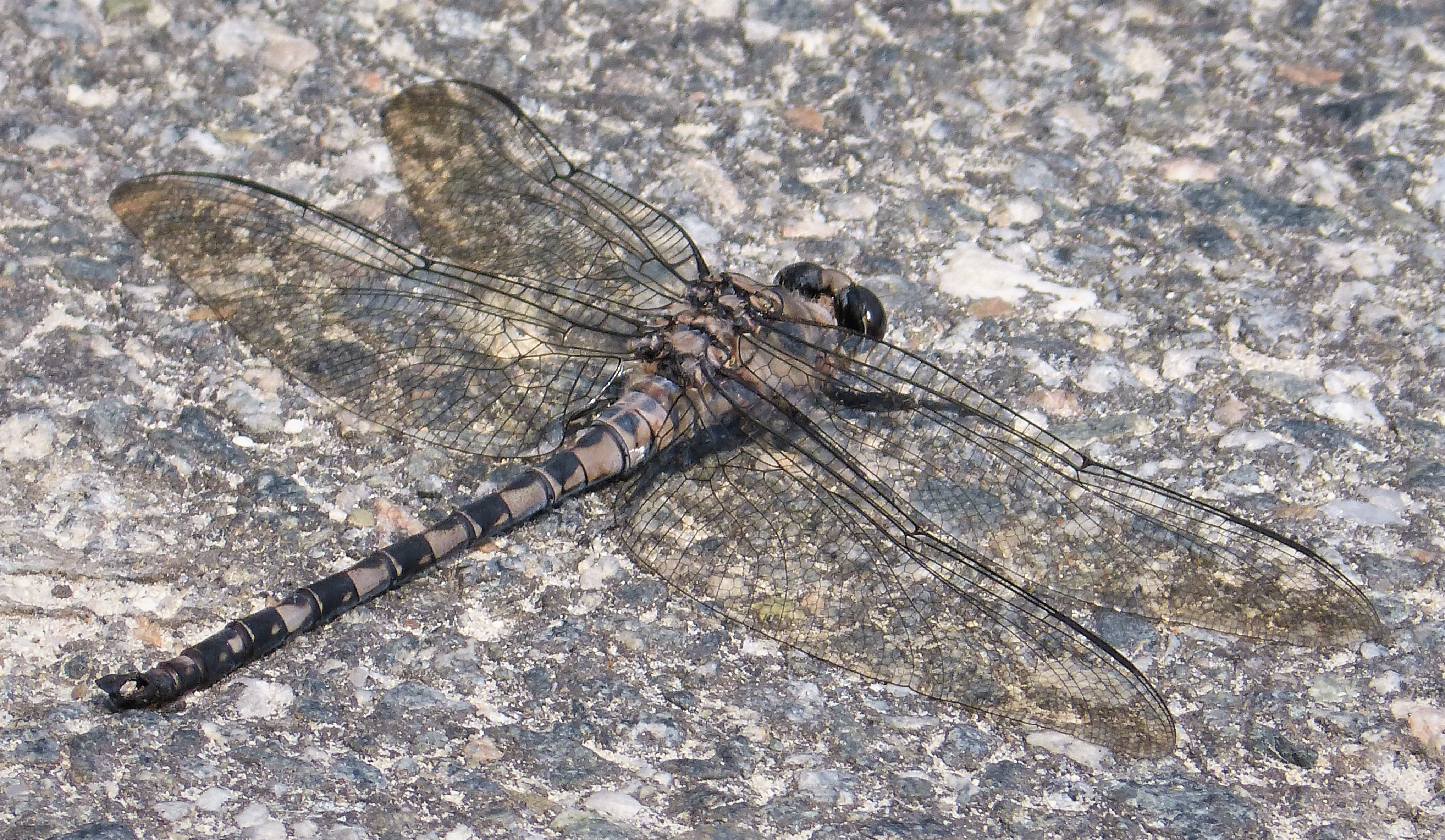 Image of Gray Petaltail