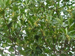 Image of Oriental mangrove