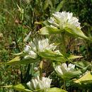Image of plain gentian