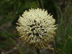 Image of <i>Dasypogon bromeliifolius</i> R. Br.