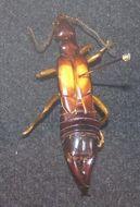 Image of <i>Carcinophora americana</i> (Palisot de Beauvois 1817)