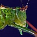 Image of speckled bush-cricket