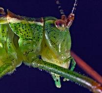 Image of Speckled bush-cricket