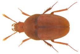 Image of <i><i>Parabathyscia</i></i> (Parabathyscia) <i>wollastoni</i> (Janson 1857)