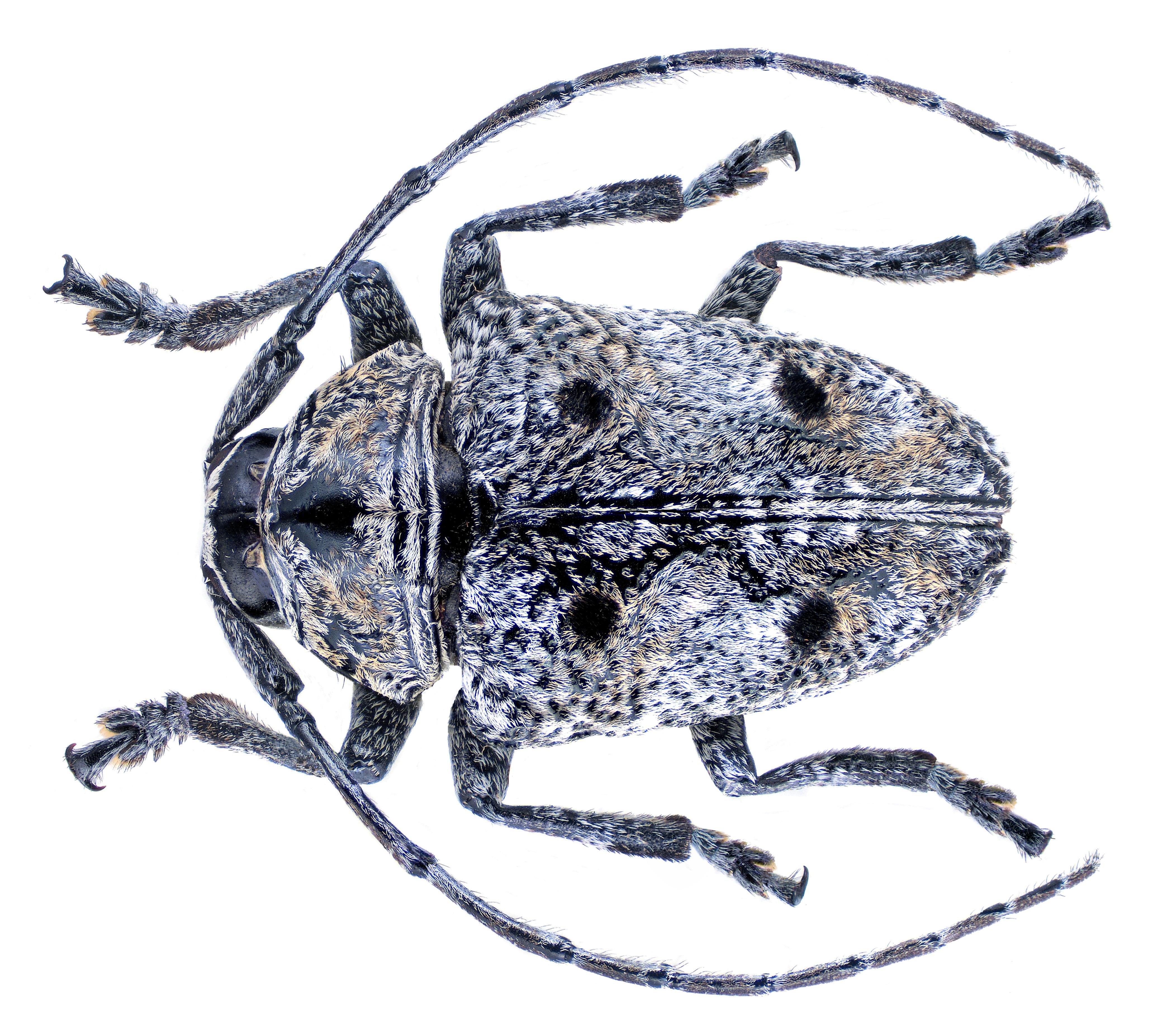 Image of <i>Dichostates quadripunctatus</i> (Chevrolat 1855)