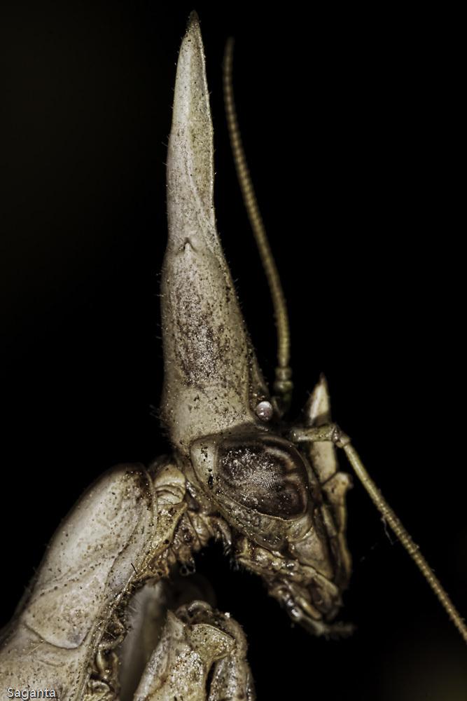 Image of conehead mantis