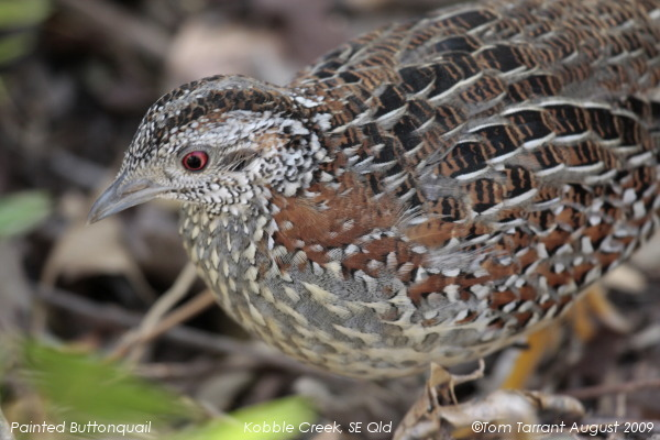 Image of Painted Buttonquail