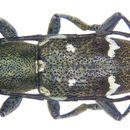 Image of <i>Parastesilea scutellaris</i> (Pascoe 1865)