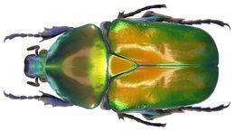 Image of <i>Protaetia <i>speciosa</i></i> ssp. speciosa