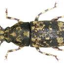 Image of <i>Basitropis sedlaceki</i>