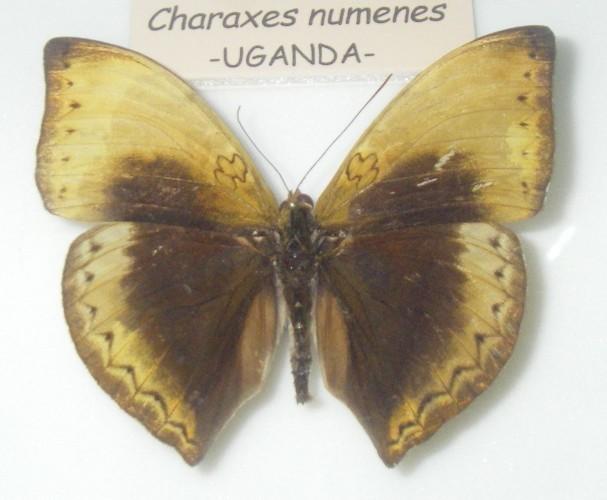 Image of <i>Cymothoe hypatha</i> Hewitson 1866