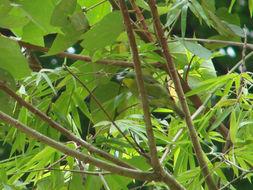 Image of Green Shrike-Vireo