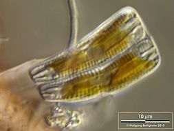 Image of <i>Rhoicosphenia abbreviata</i>