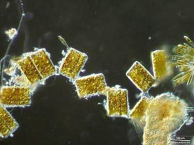 Image of <i>Rhabdonema arcuatum</i>
