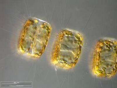 Image of <i>Porosira glacialis</i>